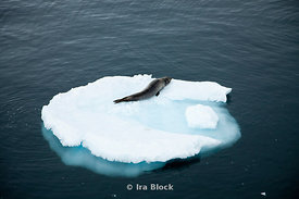 A leopard seal found on glacier around the Antarctic Peninsula.