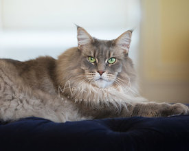 Blue Silver Tabby Maine Coon Cat Lying on Blue Ottoman and Looking Toward Camera