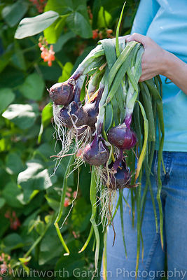 A woman holding freshly dug Red Onions. © Jo Whitworth