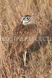 White Bellied Bustard Neck In Vertical 1