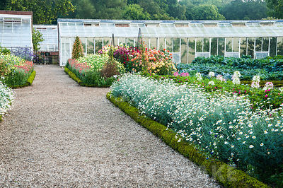 Gravel path through kitchen garden between box edged beds full of argyranthemums and dahlias, with restored glasshouses beyon...