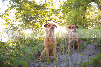 two red dogs sitting in sand with backlit vegetation