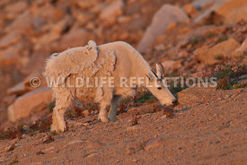 mountain_goat_grazing_at_twilight