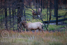 Male elk (Cervus canadensis) bellowing