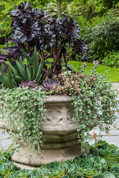 Container of purple and silver leaved plants in the Stone Garden. Included are aeonium, Dichondra argentea 'Silver Falls', an...