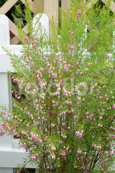 Boronia heterophylla, , rose