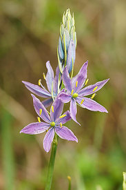 Camassia species