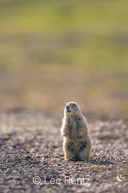 Black-tailed Prairie Dog on the Alert in Badlands National Park