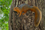 Red-bellied coast squirrel (Paraxerus palliatus), Shimba Hills National Reserve, Kenya