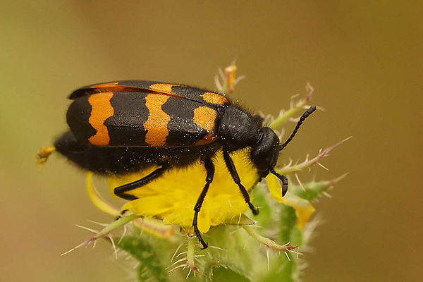 Meloidae - Blister beetles - Oliekevers