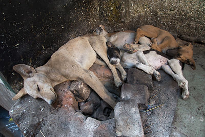 Mother and puppies street dogs sleeping on a warm oven in an alley full of sweets shops, Pushkar, Rajasthan, India