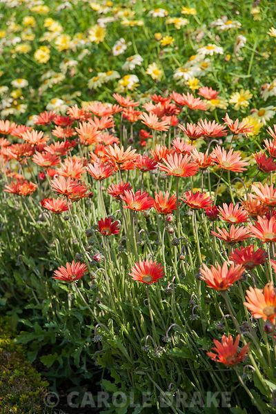 Osteospermums in the walled kitchen garden. Forde Abbey, nr Chard, Dorset, UK