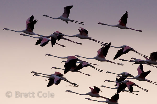 Greater flamingos (Phoenicopterus roseus) in flight, Strandfontein, South Africa