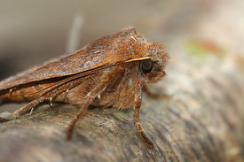 Noctuidae species