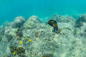 Saddle Wrasse and Yellow Tang in Coral Reef Habitat off Big Island of Hawaii