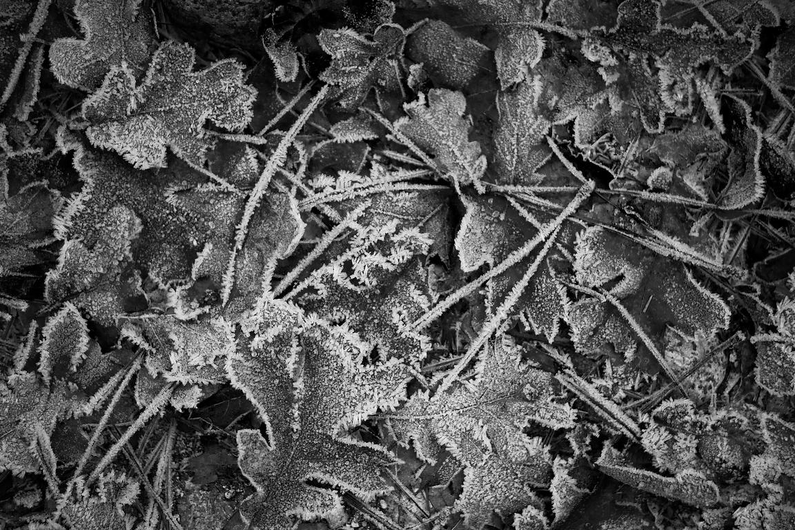 ACutting_leaf_frost_5267bw