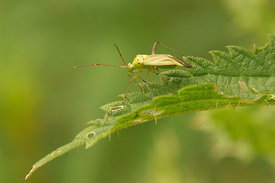 Hemiptera species
