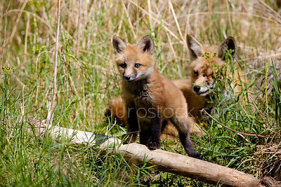 Red Fox_MG_5206
