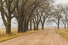 Eastern Cottonwood Trees in Nebraska's Platte River Valley