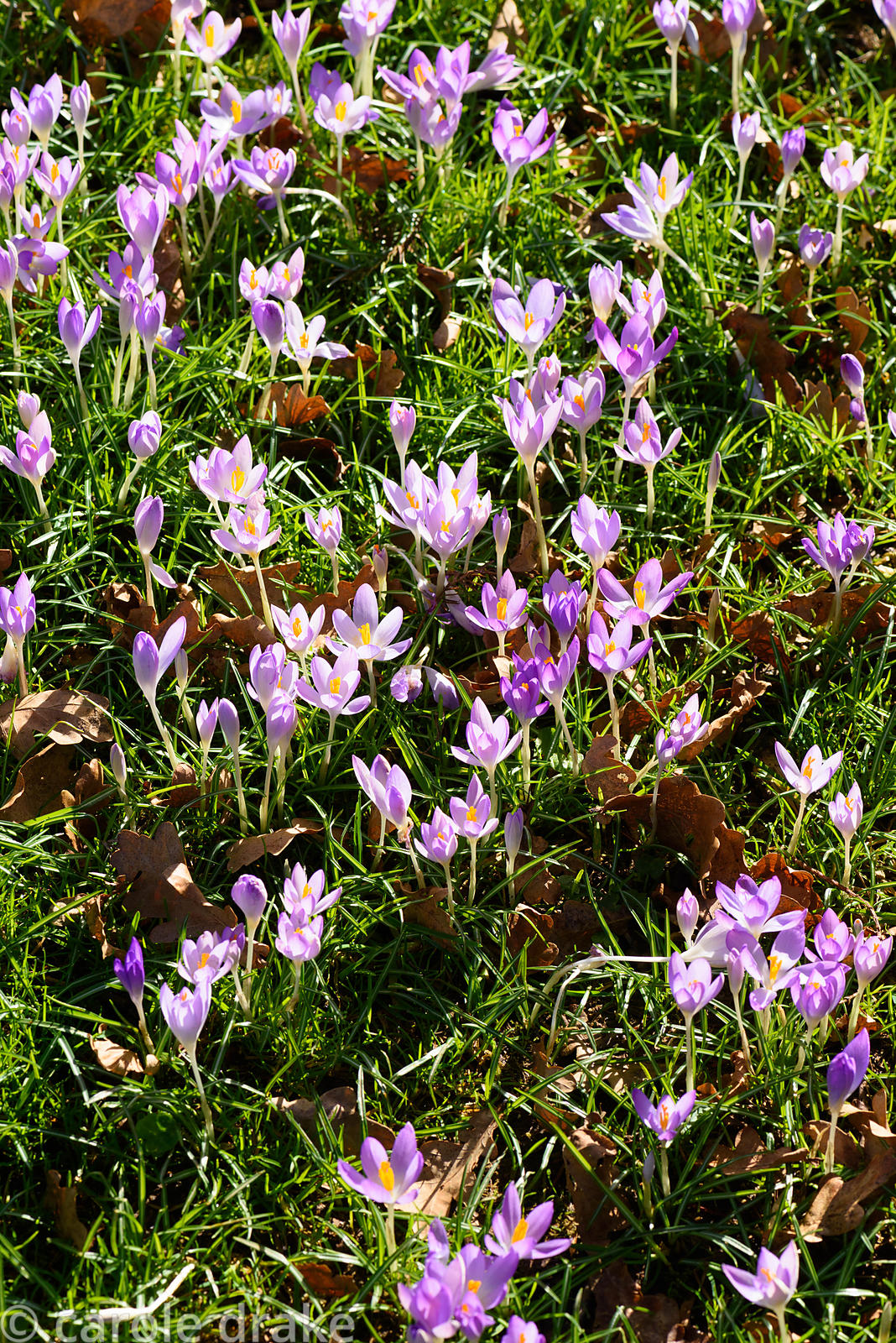 Naturalised Crocus tommasinianus