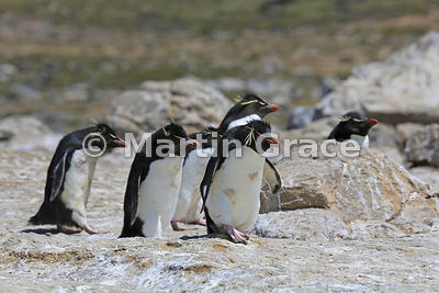 Dirty Southern Rockhopper Penguins (Eudyptes chrysocome chrysocome) heading down the penguin highway from the colony to the s...