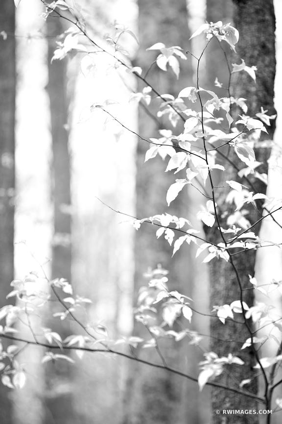 SPRING FOREST SMOKY MOUNTAINS BLACK AND WHITE