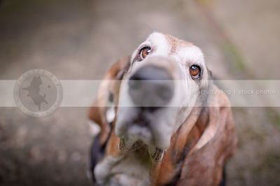 closeup of old basset hound dog nose with minimal background