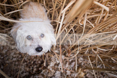 small white poodle cross dog staring up from dried grasses