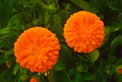 Flowers of Calendula (pot marigold)