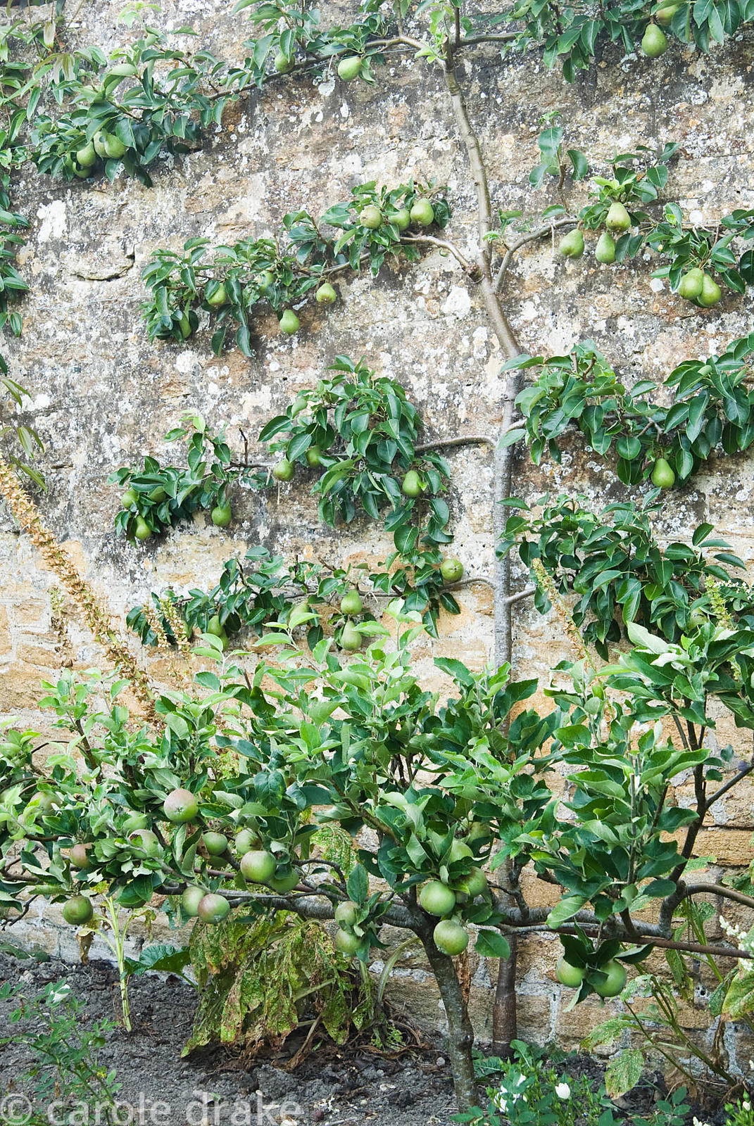 Espaliered pear with step over apples in front. Yews Farm, Martock, Somerset, UK
