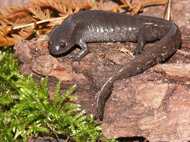 Ambystoma texanum - Narrow mouthed salamander