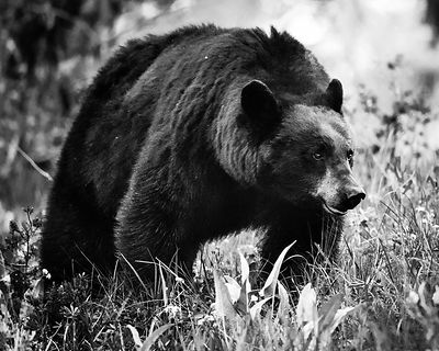 5764-Ours_bruns_du_Yellowstone_Wyoming_2014_Laurent_Baheux