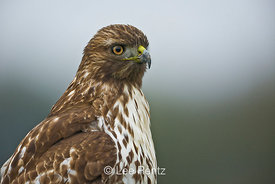 Juvenile Western Red-tailed Hawk (Buteo jamaicensis) perched in Ridgefield National Wildlife Refuge along the Columbia River,...