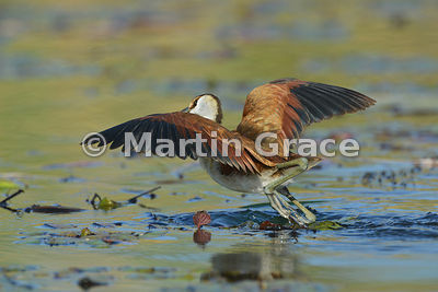 Immature African Jacana (Actophilornis africana) taking off, River Chobe, Botswana