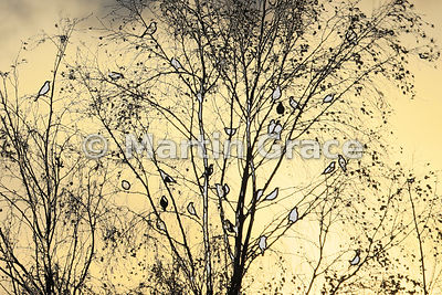 Birch Redwings