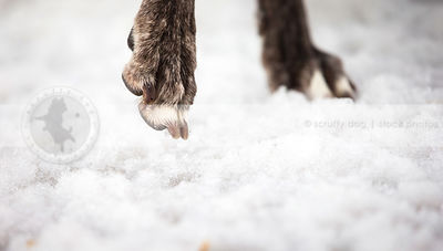 closeup of dog toes and nails in winter snow