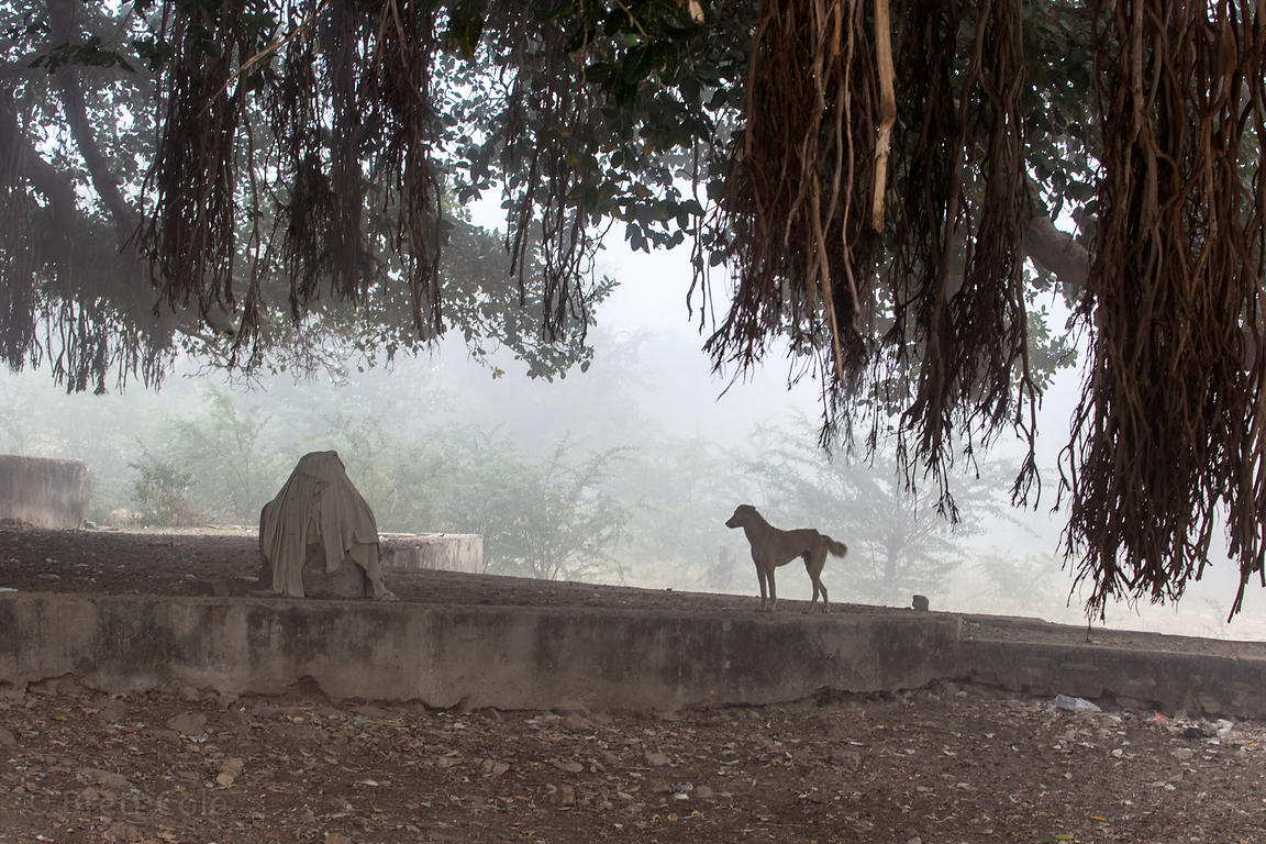 An Indian Pariah street dog underneath a large old fig tree at the 7th century Ajaypal Shiva Temple, near Pushkar, Rajasthan,...