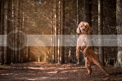 cute red poodle dog dancing standing on two legs in pine forest