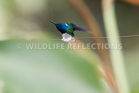 white_necked_jacobin_wire-8