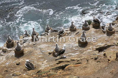 Black-Browed Albatross colony, The Rookery, Saunders Island, Falkland Islands