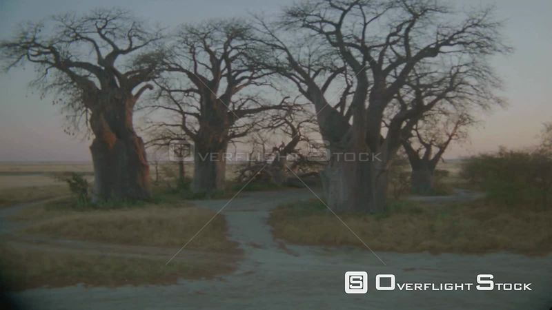 Aerial wide angle shot group of baobab trees on the edge of salt pan in desert with sun on horizon at sunset sunrise Zimbabwe