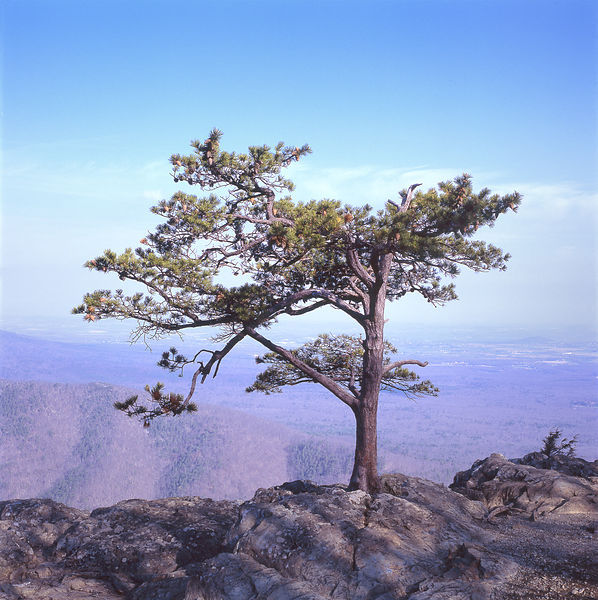056-Blue_Ridge_D145243_Bonsai_on_Cliff_03_Preview