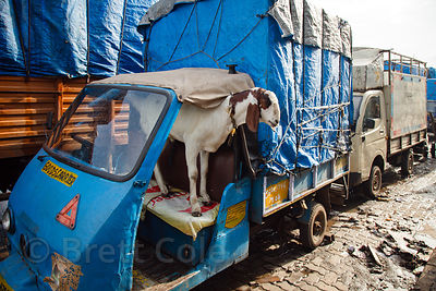 A goat sits in the driver's seat of a rickshaw truck in the Dharavi slum of Mumbai, India.