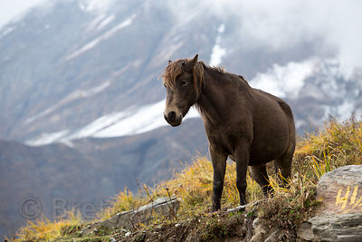 Horse in the Himalayas on the way to Rohtang Pass, Manali, India. The horses are used to give rides to Indian tourists. Low p...