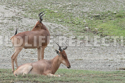 hartebeest_male_resting_13