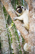 Verreaux's sifaka, Propithecus verreauxi, in the spiny forest, Mandrare River Camp, Ifotaka Community Forest, Madagascar