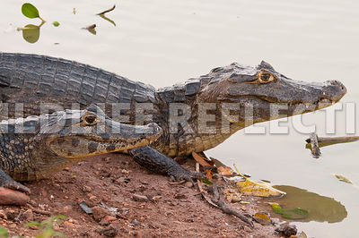 caiman_river_pair09021301