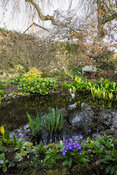 Small pond surrounded by Lysichiton americanus, irises, marsh marigold, Caltha palustris, primulas and Magnolia stellata. Sum...