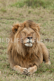 lion_male_looking_around_5
