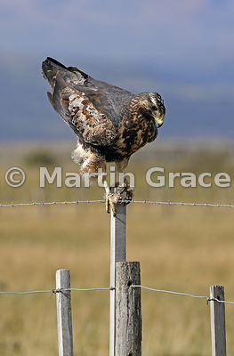 Juvenile Black-Chested Buzzard-Eagle (Geranoaetus melanoleucus) standing on a fence post with tail raised, about to defecate,...